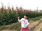 學甲蜀葵花:IMG_0683.JPG