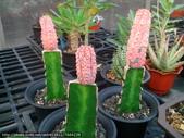 多肉植物:亞迪麒麟錦.jpg