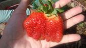 日月潭之旅:好大顆的草莓