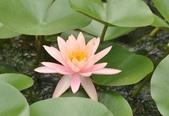 官田水中植物:DSC_1971-a.jpg