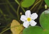 官田水中植物:DSC_1995a.jpg