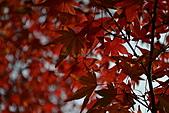 京都----楓紅...賞楓:DSC_0164.JPG