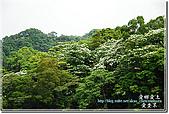 2010/4/17夢幻桐花步道:DSC_1996.jpg