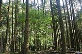 坪林翡翠山林民宿:屋旁蒼翠的杉木林