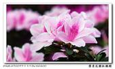 榮星花園杜鵑花開:DSC02595.jpg