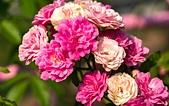 士林官邸 玫瑰:DSC08728.jpg