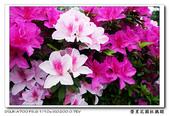 榮星花園杜鵑花開:DSC02640.jpg