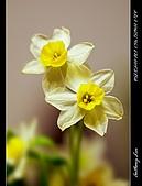 戊子年春節:春節水仙花開