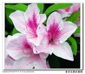 榮星花園杜鵑花開:DSC02599.jpg