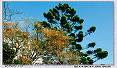 陽明山楓葉--略紅:DSC07058.jpg