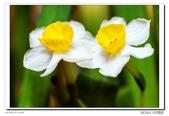 水仙花:DSC09370.jpg