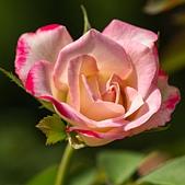 士林官邸 玫瑰:DSC08732.jpg