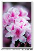 榮星花園杜鵑花開:DSC02602.jpg