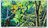 陽明山楓葉--略紅:DSC06940.jpg