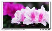 榮星花園杜鵑花開:DSC02583.jpg