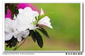 榮星花園杜鵑花開:DSC02604.jpg