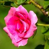 士林官邸 玫瑰:DSC08709.jpg