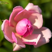 士林官邸 玫瑰:DSC08721.jpg