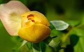 士林官邸 玫瑰:DSC08712.jpg