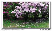 榮星花園杜鵑花開:DSC02586.jpg