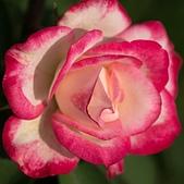 士林官邸 玫瑰:DSC08706.jpg