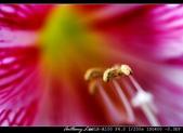 生態花卉照片:香水百合