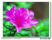 榮星花園杜鵑花開:DSC02614.jpg
