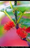 生態花卉照片:桑椹