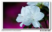 榮星花園杜鵑花開:DSC02616.jpg