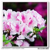 榮星花園杜鵑花開:DSC02590.jpg