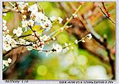 梅林寺 梅滿開:DSC00522.jpg