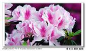 榮星花園杜鵑花開:DSC02591.jpg