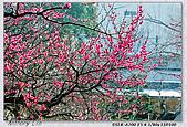 梅林寺 梅滿開:DSC00582.jpg