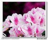 榮星花園杜鵑花開:DSC02592.jpg