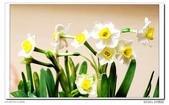水仙花:DSC09290.jpg