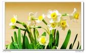 水仙花:DSC09294.jpg