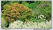 陽明山楓葉--略紅:DSC06998.jpg
