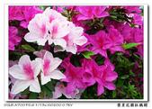 榮星花園杜鵑花開:DSC02639.jpg