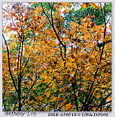 陽明山楓葉--略紅:DSC06925.jpg