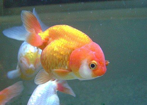 养金鱼-选鱼