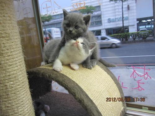 白 貓 日 版 圖鑑