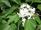 屏東大峽谷油桐花:綠葉襯托油桐花