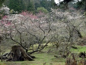 阿里山櫻花季:吉野櫻盛開