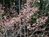 阿里山櫻花季:彩妝阿里山的櫻花