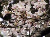 阿里山櫻花季:吉野櫻
