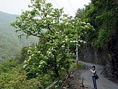 屏東大峽谷油桐花:沿路的油桐花