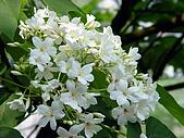 屏東大峽谷油桐花:雪白的油桐花