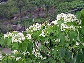屏東大峽谷油桐花:雪白的油桐花開滿樹