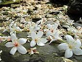屏東大峽谷油桐花:飄落滿地油桐花