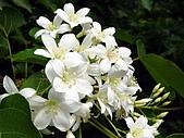 屏東大峽谷油桐花:滿山的油桐花
